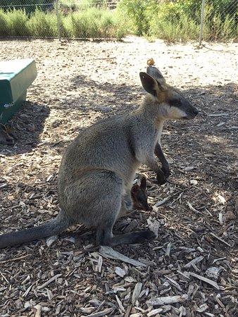Byford, Australia: Kangaroo