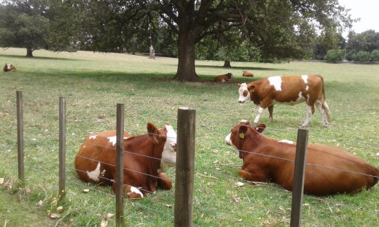 Cornwall Park: Don't miss the cows