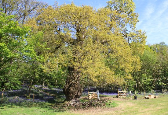 Бертон-апон-Трент, UK: Oak near the entrance