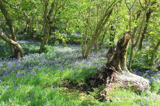 Бертон-апон-Трент, UK: More bluebells