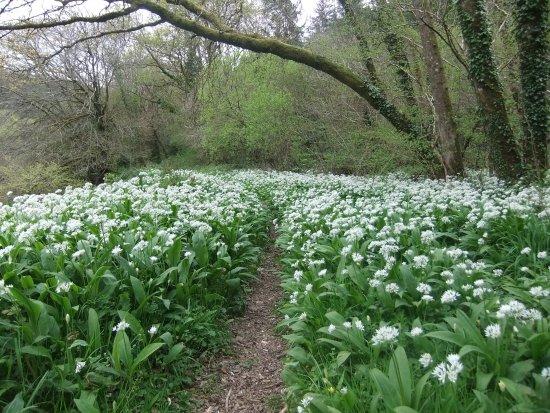 Yelverton, UK: wild garlic along the Tavy at Buckland Abbey