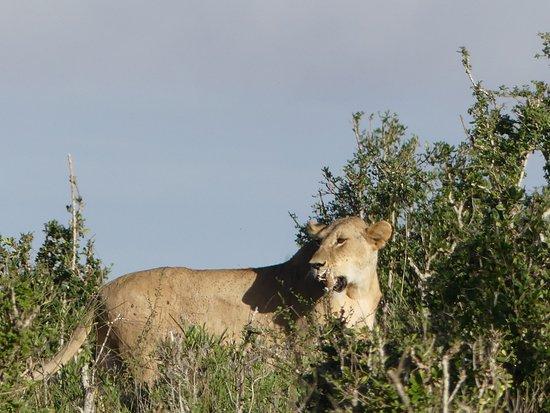 Robert Safaris Adventure Day Excusions : Löwenmama