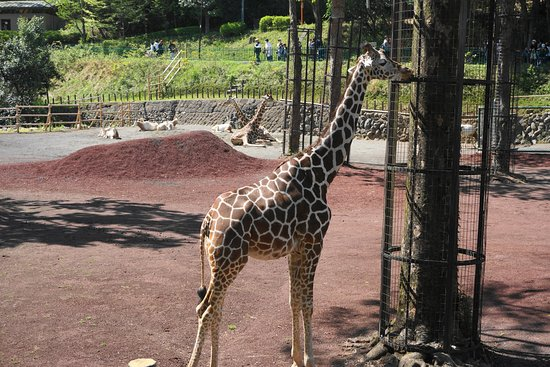 キリンもたくさん - Picture of Tama Zoological Park, Hino - TripAdvisor