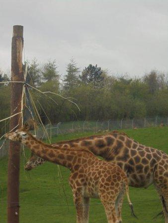 Dalton-in-Furness, UK: Giraffes