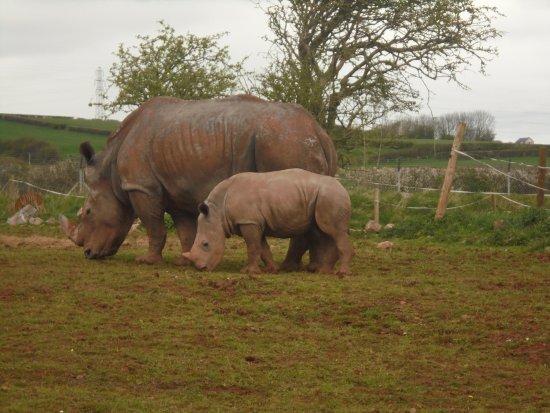 Dalton-in-Furness, UK: Rhinos