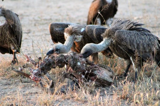 Manyeleti Game Reserve, Sudáfrica: Vulture on carcess
