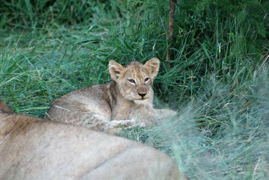 Honeyguide Tented Safari Camps: Lion cub