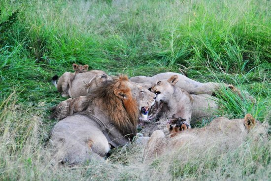 Honeyguide Tented Safari Camps: Lions feeding on kill