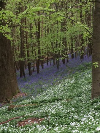 Groombridge, UK: The bluebell woods