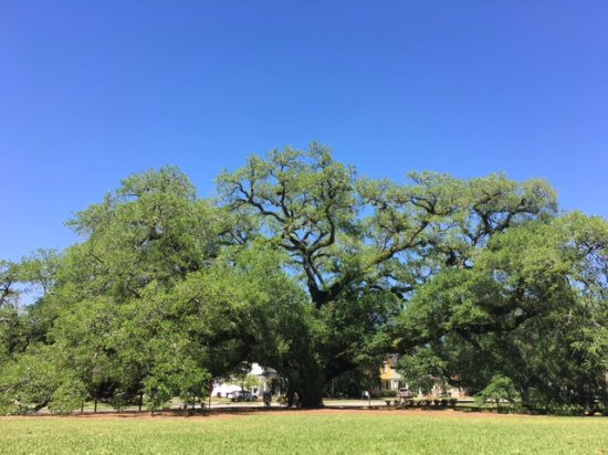 Thomasville, GA: One of the largest trees east of the Mississippi River