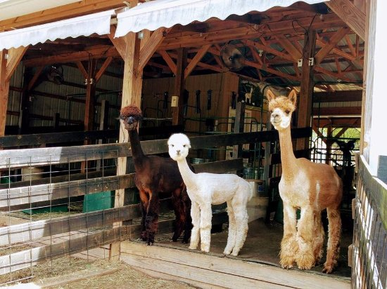 Apple Mountain Alpacas