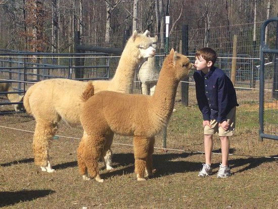 Clarkesville, Geórgia: Alpaca kisses are the best...