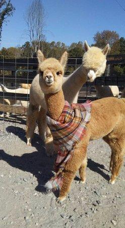 Clarkesville, جورجيا: Aurora sporting a scarf.