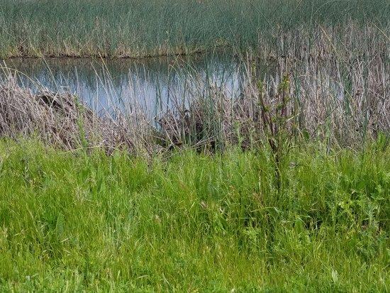 Willows, CA: Pheasant heaven