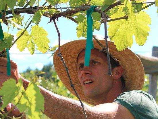 Hatfield, MA: vineyard work