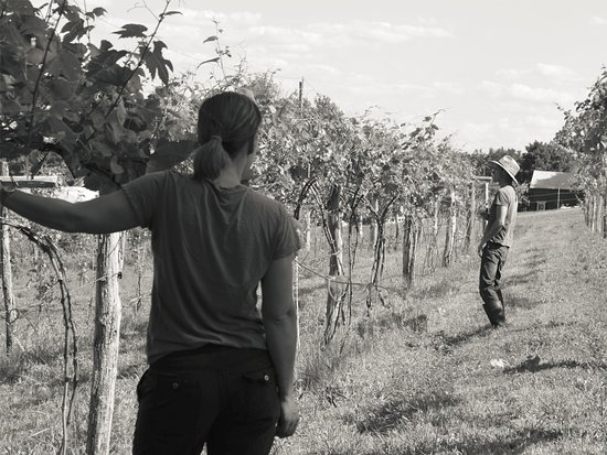 Hatfield, MA: vineyard work