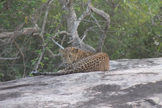 Yala Safaris - Private Tours: Leopard