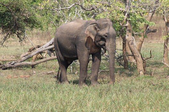 Tissamaharama, Sri Lanka: Elefant