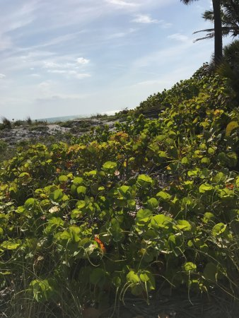 Lido Beach: lots of sea grapes on the dunes