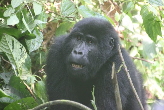 Clouds Mountain Gorilla Lodge: The reason we were here!