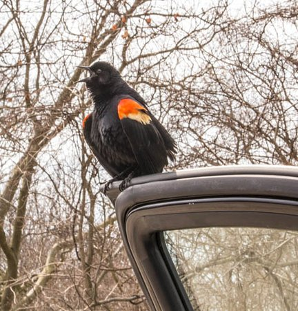 Leamington, Canada: Squaking red win g blackbird sitting on my car door.