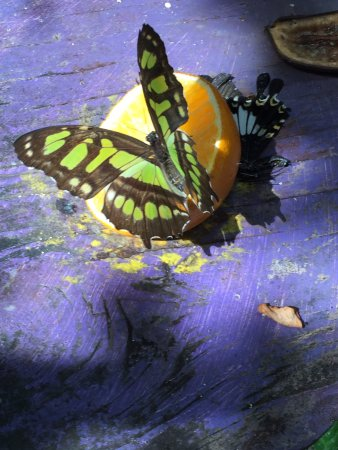 Quartier D'Orleans, St. Maarten/St. Martin: Sitting on a orange drinking the nectar