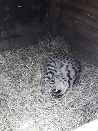 Telford, UK: Duma the Serval