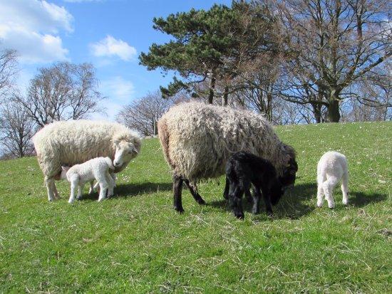 Kalundborg, Denmark: sheep