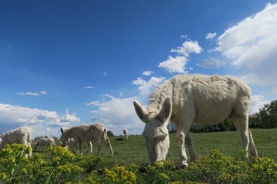 Illmitz, Austria: White donkeys