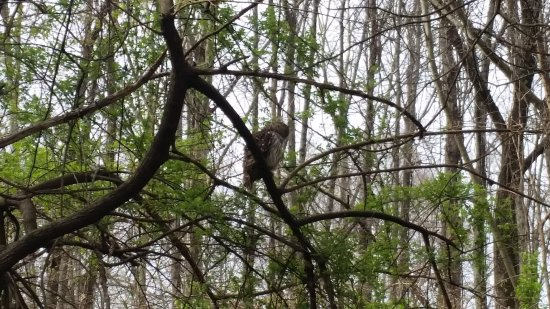 Greensboro, Carolina del Norte: Owl in Bog Garden across street from Tanger Family Bicentennial Garden.  A pair of owls nest in