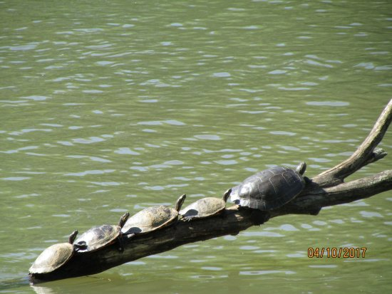 Augusta, GA: Family of turtles sunning themselves.