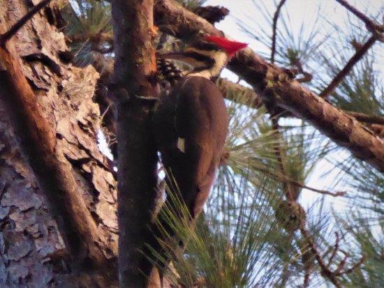 Lake Panasoffkee, FL: Pileated Woodpecker
