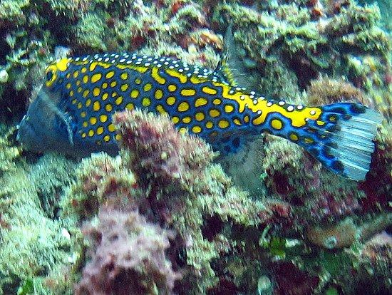 "Kerobokan, Indonesia: ""Black"" Box Fish"
