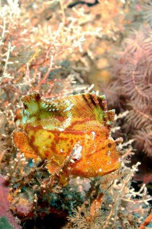 leaf scorpionfish - photo #48