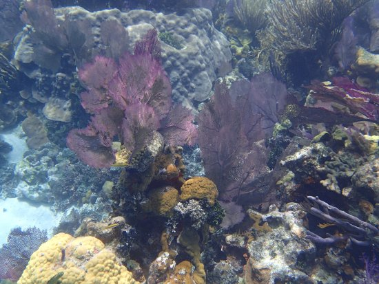 Belize Cayes, Belize: Crystal clear water & fan coral