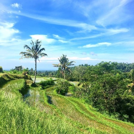 Baturiti, Endonezya: Nearby rice fields seen from hotel and on hike. Photo by @SassyPotatoStrikesAgain