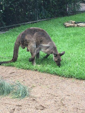 Blacktown, Australia: Big Kangaroo