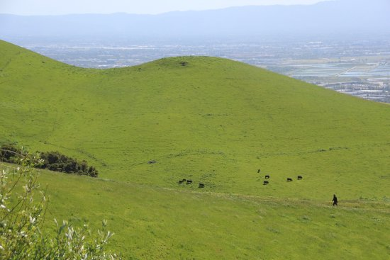 Fremont, Californien: The green, the cows, the view, wow.