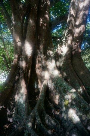 Lam Dong Province, Βιετνάμ: дерево на повороте перед водопадом
