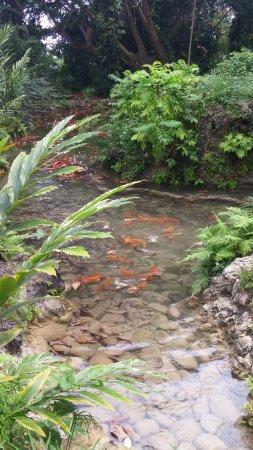 Saint Ann Parish, Jamaica: The koi fish pond