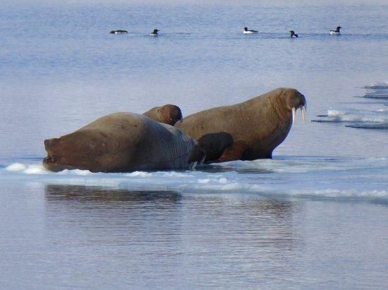 Walruses near Pyramiden