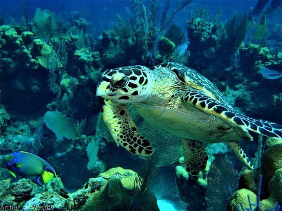 Placencia, Belice: Aww the beauty of our Belize underwater...Belize has some of the Best Diving and snorkeling area