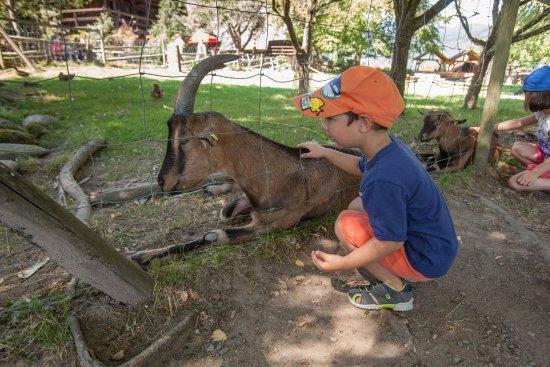 Gutach im Schwarzwald, Germany: Ziegen