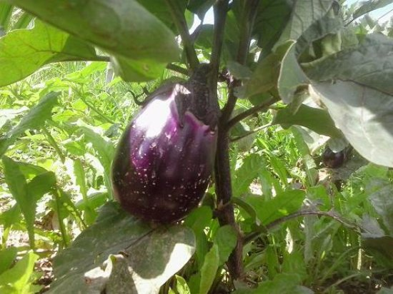Tonco, Italy: una melanzana del nostro orto