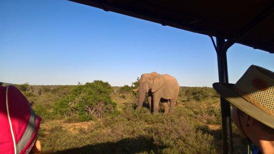 Amakhala Game Reserve, Νότια Αφρική: Elephants