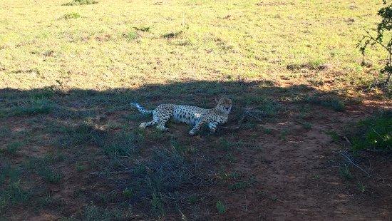 Amakhala Game Reserve, Νότια Αφρική: Cheetah