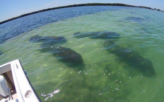 Bradenton Beach, FL: Manatees