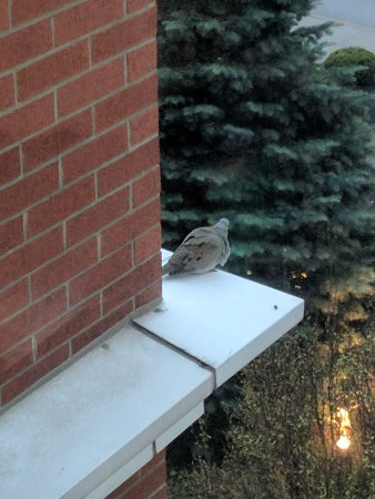Sheraton Erie Bayfront Hotel: Bird hanging out on the ledge outside my window