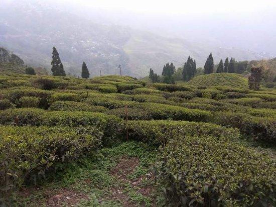 Happy Valley Tea Estate: FB_IMG_1493050923181_large.jpg
