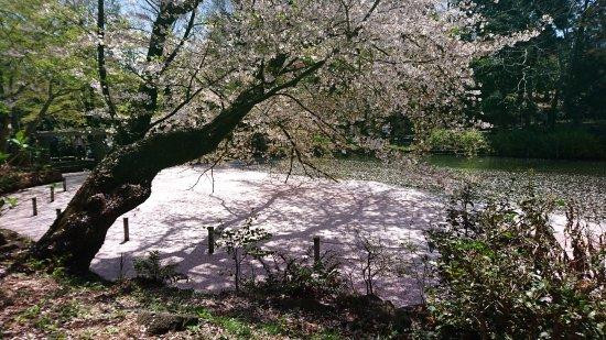 Musashino, Japan: Sakura covering the lake